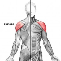 Deltoid muscle