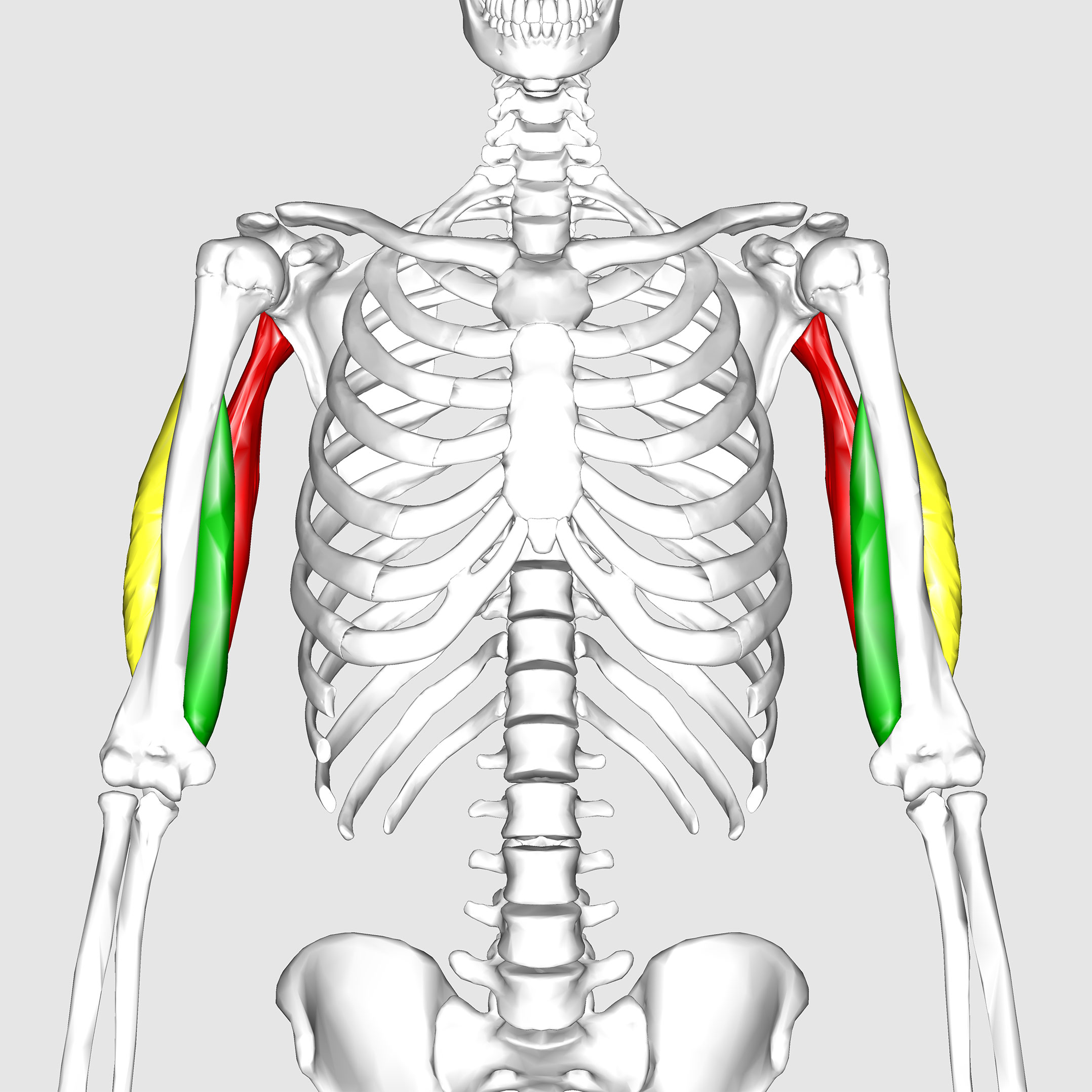 Triceps brachii muscle | Golf Loopy - Play Your Golf Like a Champion