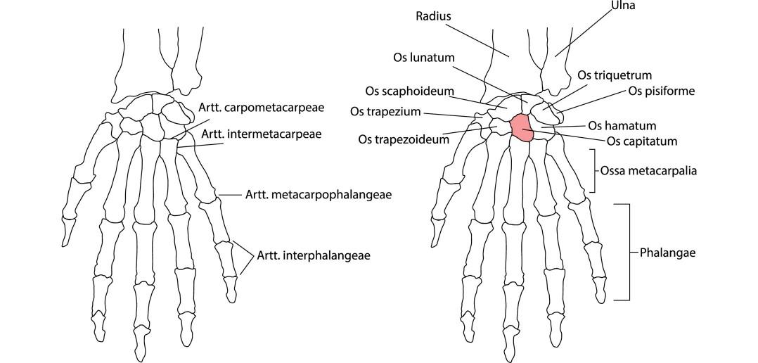 Wrist Articulations - Golf Anatomy and Kinesiology
