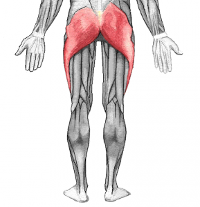 Gluteal Muscles - Golf Anatomy and Kinesiology