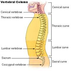 Figure 1.  The vertebral column