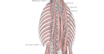 Erector-spinae-muscles
