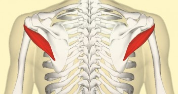 Teres_minor_muscle_back