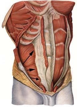 Oblique muscles | Golf Loopy - Play Your Golf Like a Champion