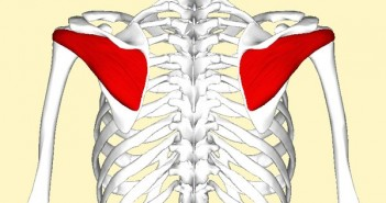 Infraspinatus_muscle_back