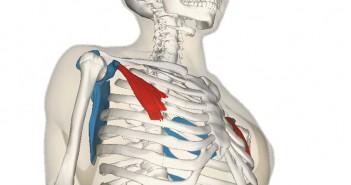 Pectoralis_minor_muscle_and_shoulder_blade