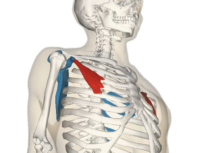 Pectoralis minor muscle - Golf Anatomy and Kinesiology