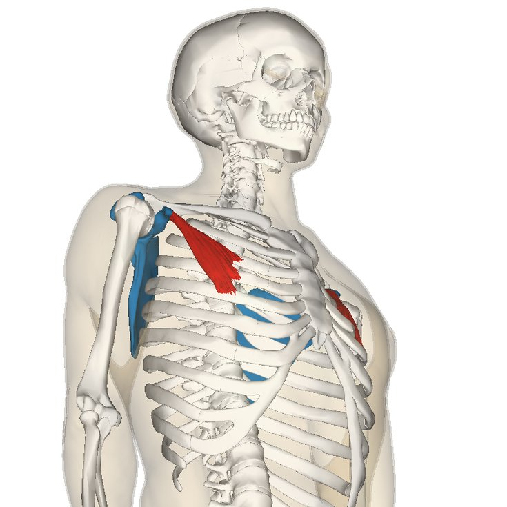Pectoralis minor muscle | Golf Loopy - Play Your Golf Like a Champion