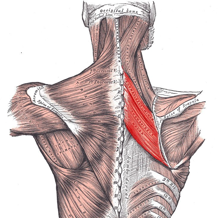 Rhomboid muscles | Golf Loopy - Play Your Golf Like a Champion