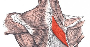 Rhomboid major muscle - Golf Anatomy and Kinesiology