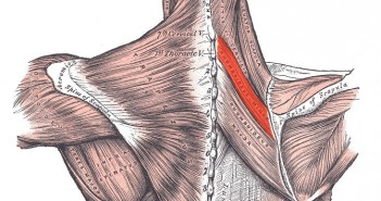 Rhomboid minor muscle - Golf Anatomy and Kinesiology