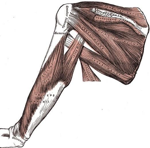 Rotator cuff - Golf Anatomy and Kinesiology