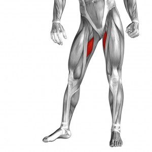 Adductor Longus - Golf Anatomy and Kinesiology