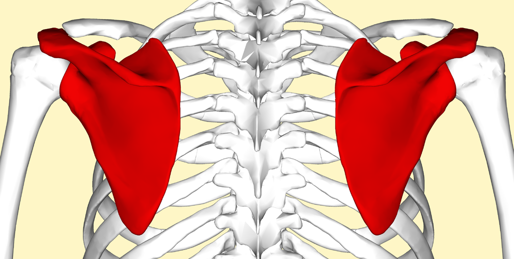 Scapular Articulations - Golf Anatomy and Kinesiology